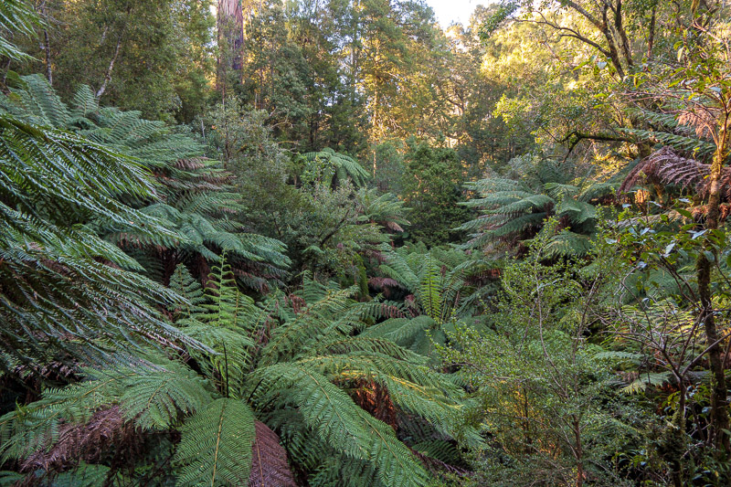 Australia-Cape Otway-Apollo Bay-Lorne - Here are some less brown more green variety of rainforest ferns.