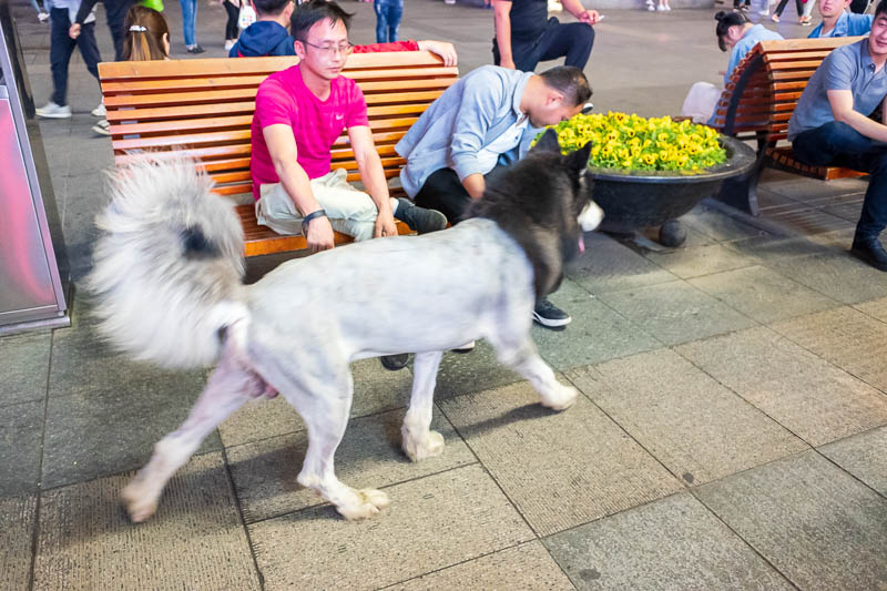 China-Zhengzhou-Food-Erqi Square - And for my last photo this evening, here is a shaved wolf. He seemed happy enough to be shaved, proudly parading himself for photos with everyone. I h