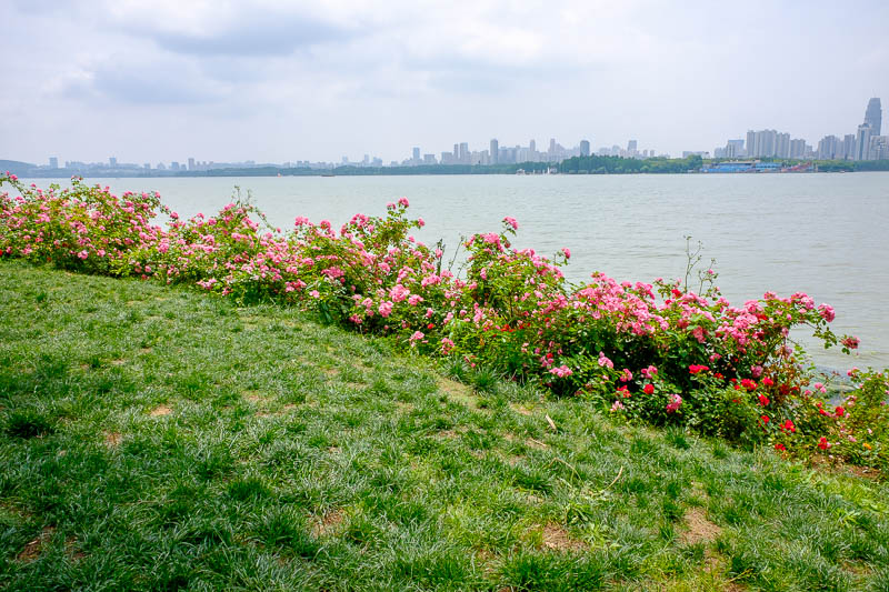 China-Wuhan-East Lake-View - About a kilometre of roses lined one of the banks.