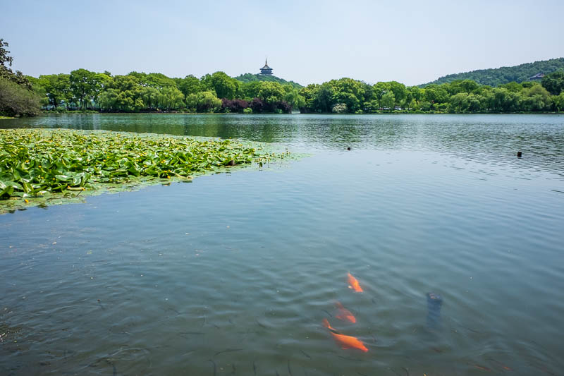 China-Hangzhou-West Lake-Hiking - I managed to get all 3 in one shot, pagoda, goldfish, waterlilies. The fish are an excellent accompaniment to turtle. Here in China the turtle shell i