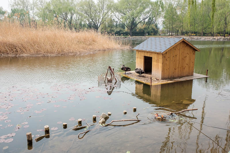China-Beijing-Summer Palace - This family of swans have even constructed a small house for themselves with a nice view of their pond.