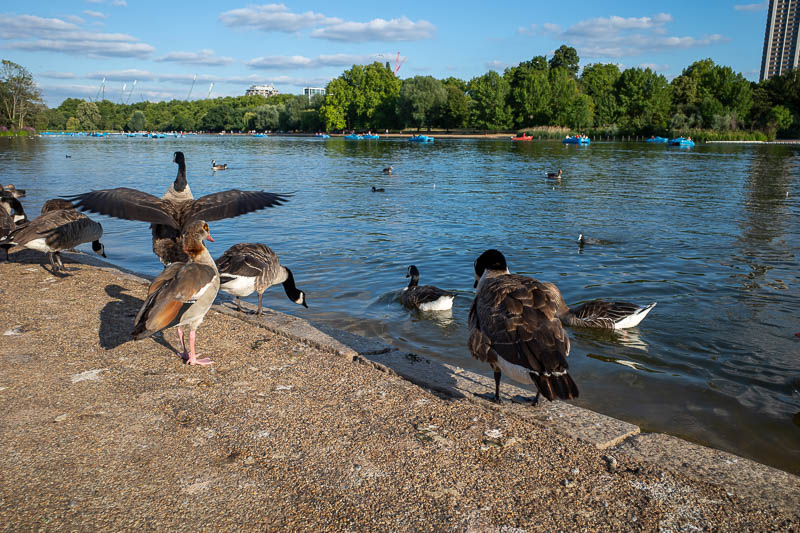 England-London-Hyde Park - Now for the birds. These are a super sized swan / sea gull hybrid. They are enormous and delicious.