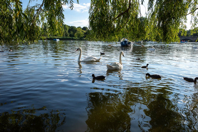 England-London-Hyde Park - Here are some normal swans.