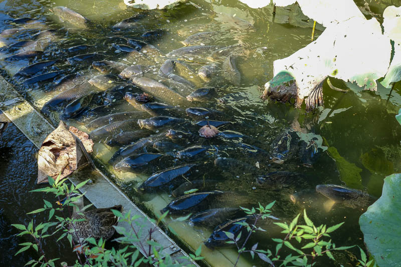 Japan-Tokyo-Ueno-Ameyoko - And also delicious carp. They seem to enjoy resting just out of the water.