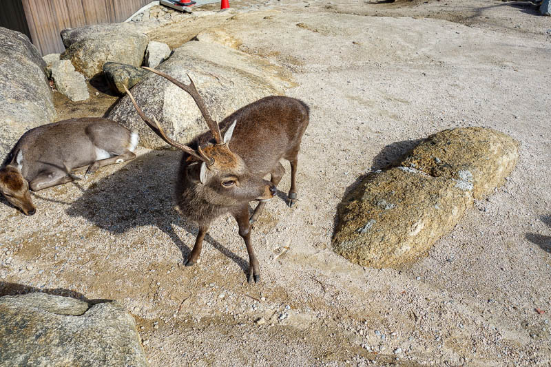 Japan-Hiroshima-Miyajima-Hiking-Mount Misen - This deer still has his horns. I could have been killed.