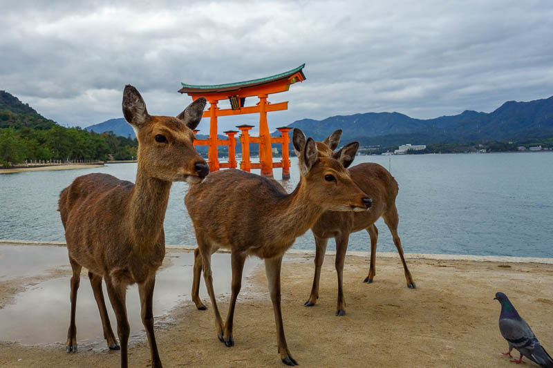 Japan-Hiroshima-Miyajima-Hiking-Mount Misen - Instead I captured the deer, being intimidated by a pigeon.