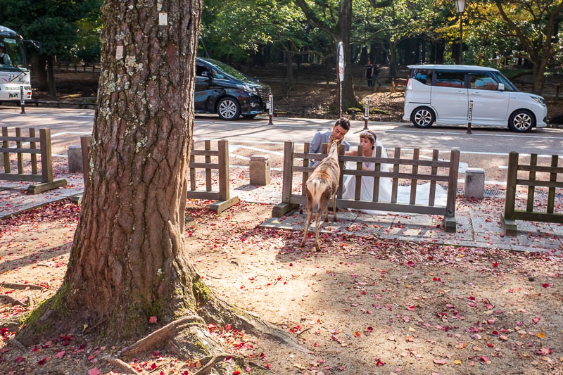 Japan-Nara-Hiking-Deer - Deer wedding pics.