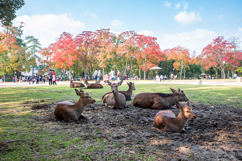Japan-Nara-Hiking-Deer - When the deer have eaten enough, they dig themselves a mud pit and go to sleep.