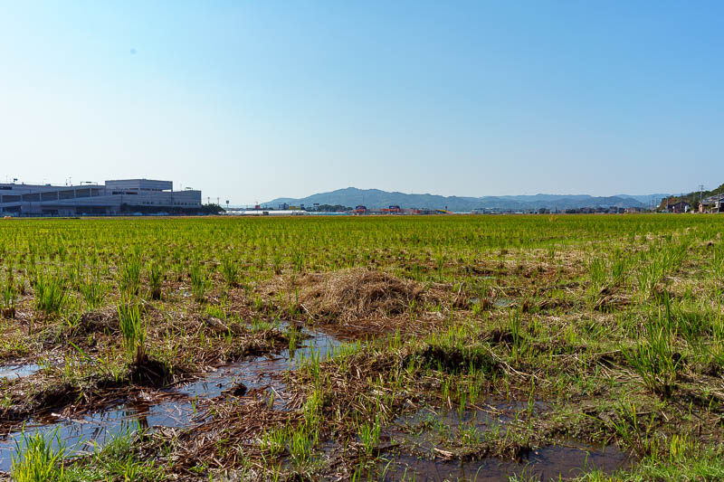 Japan-Karatsu-Castle-Hiking - At this point I had spotted the mountain lookout, so I bounded across a rice field.