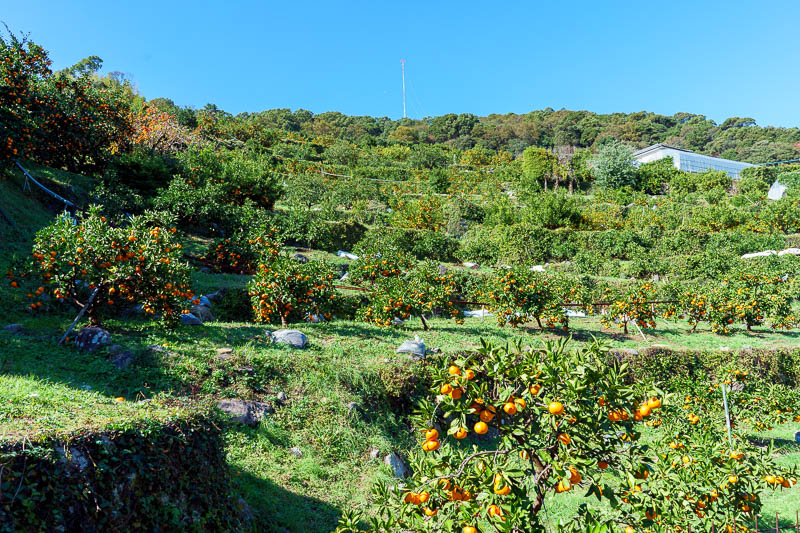 Japan-Nagasaki-Hiking-View - There were still however lots of farms to cross. Here is an orange grove. People picking various fruits seemed very confused to see me. No one offered