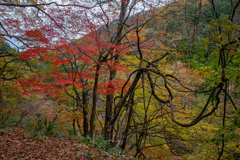 Japan-Hiking-Omoshiroyama-Yamadera - While sauntering along, I occasionally passed a red tree to gawk at.