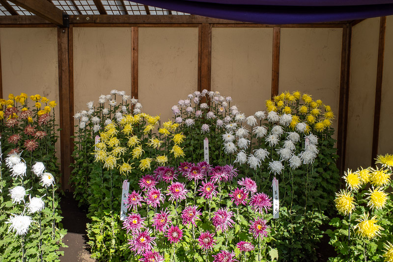 Japan-Tokyo-Shinjuku Gyoen-Garden - Heres another word I need to look up to be able to spell, Chrysanthemum. These are the winners. The official season ends today I think.