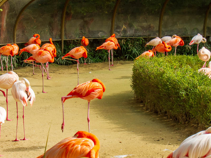 Korea-Seoul-Zoo - The pink flamingoes were really quite pink, I thought the photo came out well.