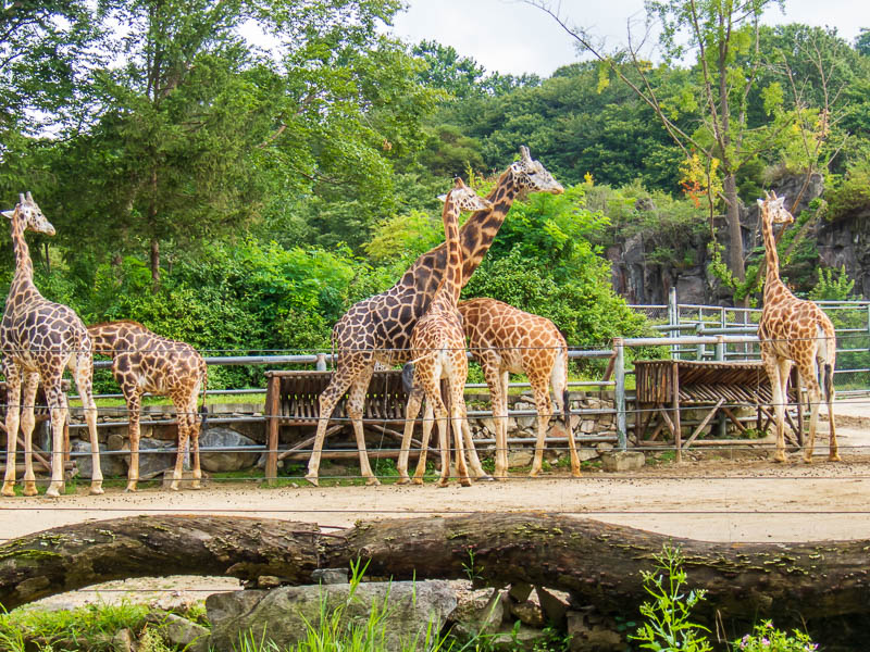 Korea-Seoul-Zoo - I was also pretty happy with how this giraffe picture turned out.