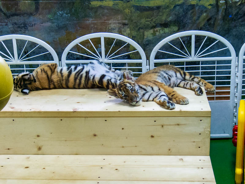 Korea-Seoul-Zoo - Slightly larger baby tigers, I thought they might have been dead for a while, but I was joined by a Korean family who were happy to bash on the glass