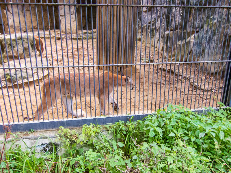 Korea-Seoul-Zoo - These cougars were playing about just like normal cats.