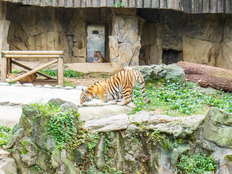 Korea-Seoul-Zoo - Tiger drinking from a pond