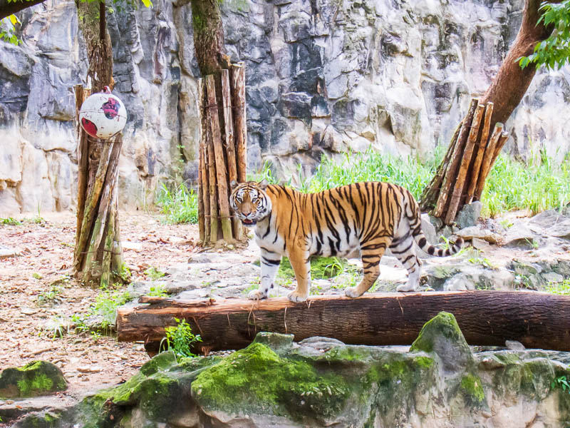 Korea-Seoul-Zoo - Clear shot of a tiger, there were also elephants but they were a long way off for some reason, perhaps they move them into another area later in the d