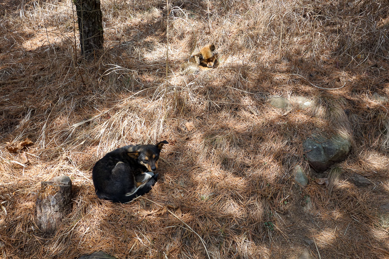 Korea-Busan-Hiking-Gudeoksan - Wild dogs! They didnt seem bothered by me at all. Perhaps they are in the final stages of rabies and delusional, so delusional that they forgot to att