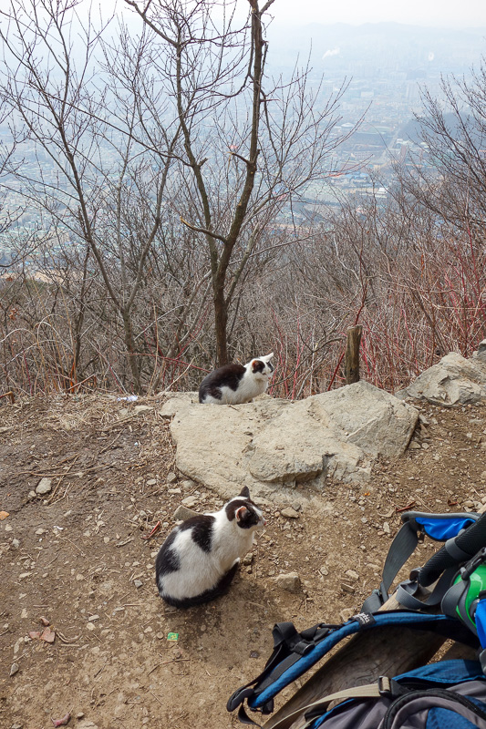 Korea-Incheon-Songdo-Hiking-Gaesan - Cats hanging out with the hikers stopping to eat their mini tomatoes.