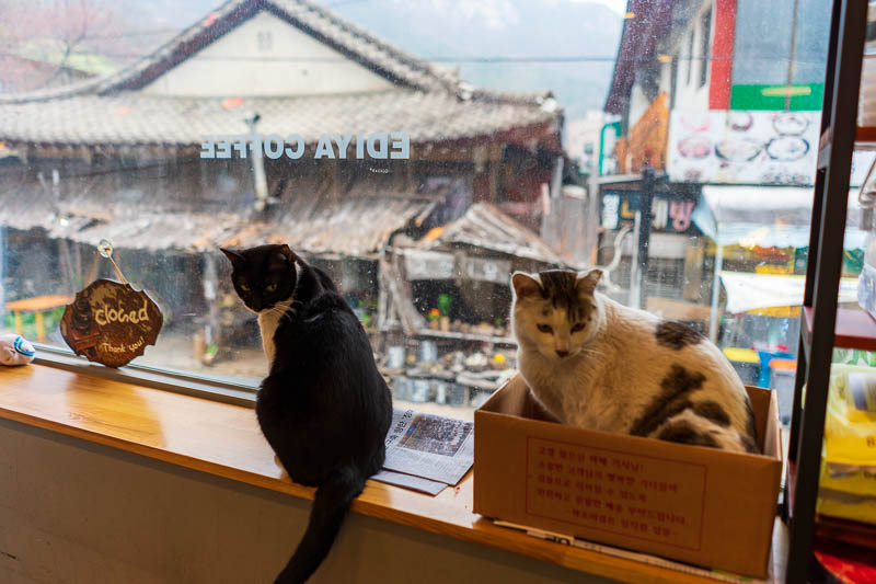 Korea-Hiking-Gyeryongsan - I decided to sit and ponder the weather with these 2 cats in the local Ediya coffee shop. In addition to cats they had a sewing and knitting corner an