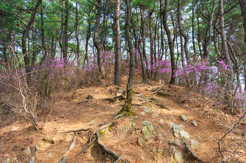 Korea-Daejeon-Hiking-Gyejoksan - The path down to the path with the clay was purple.