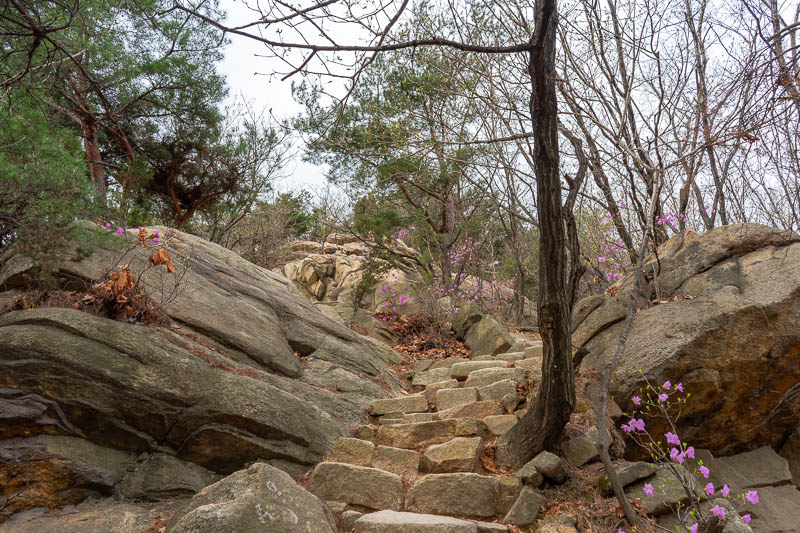 Korea-Seoul-Hiking-Gwanaksan - The first part of the hike was easy steps and purple flowers.