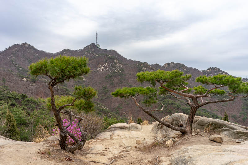 Korea-Seoul-Hiking-Gwanaksan - I still have to get to that tower, until then, heres some little trees and purple flowers. This path had next to no other people on it, of course the