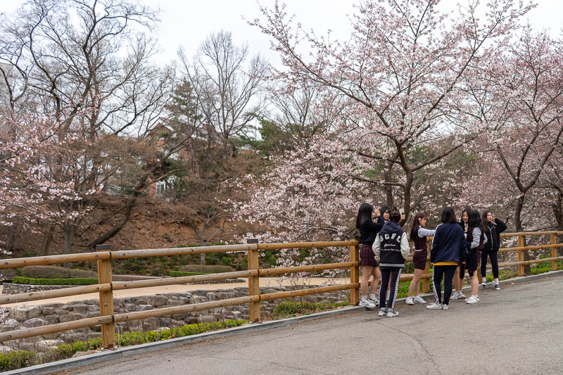 Korea-Seoul-Hiking-Gwanaksan - Some blossoms meant every Korean schoolgirl was SELFYING, so I took a creep shot from afar (heavy crop).