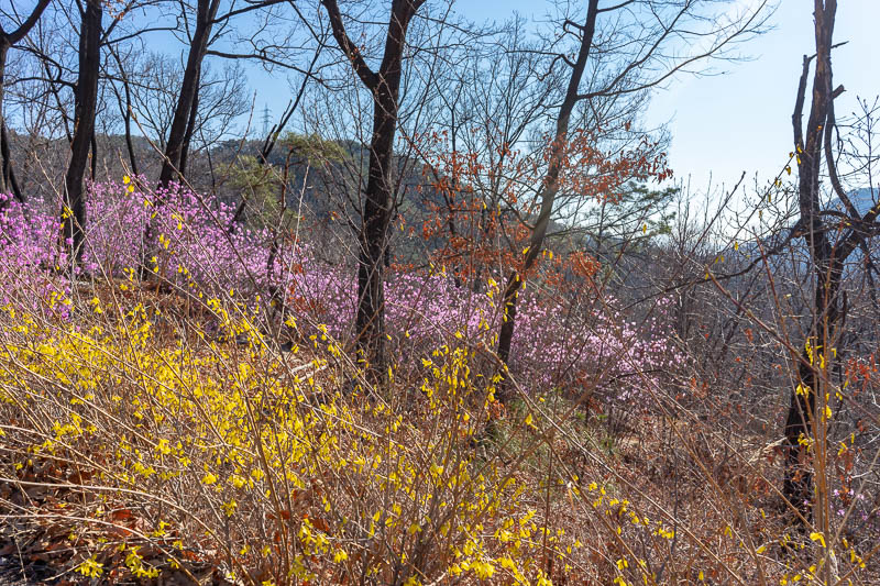 Korea-Hiking-Suraksan - I think it is actually too early for cherry blossoms, if thats your thing. Instead there are these yellow and purple flowers everywhere. In this photo