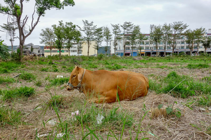 news - Random Cow. Taitung delivered all the random animals, there were dogs and monkeys also.