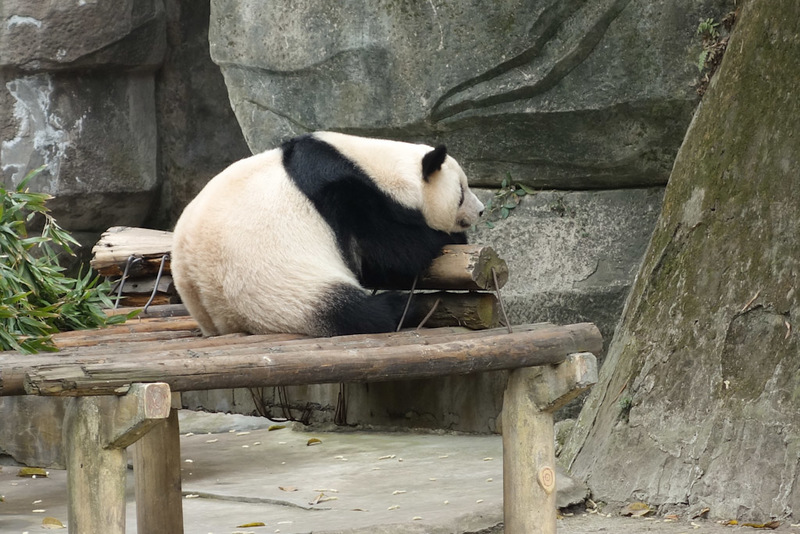 China-Chongqing-Zoo-Panda-Monorail - This one looks like me, constantly stretching its back.
