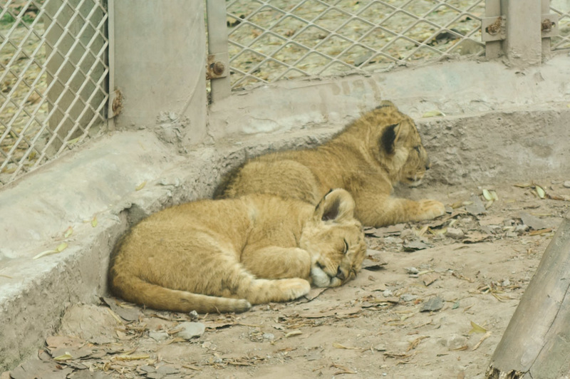 China-Chongqing-Zoo-Panda-Monorail - These are baby lions. Not sure if they are dead or asleep, they wouldnt move. A human baby used all its powers of bashing on the glass to attempt to w