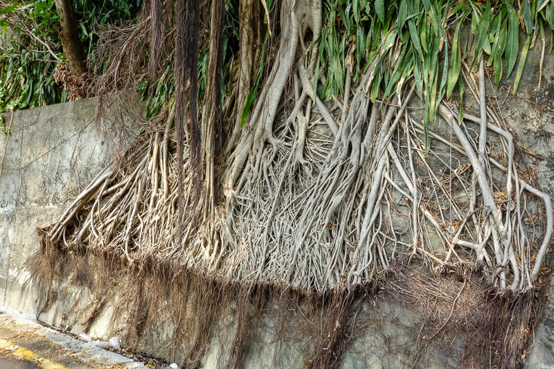 Taiwan-Kaohsiung-Monkeys-Temple-Beach - I admired the determination of this trees roots.