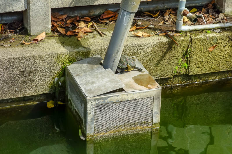 Taiwan-Tainan-Baoan-Chimei Museum - This mini turtle is king of the turtles, overseeing his fellow turtles.